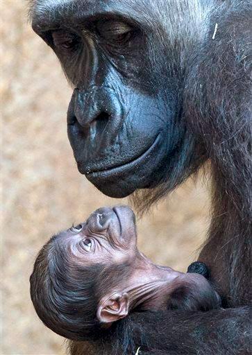 Ape Baby Love